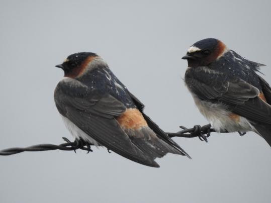 Swallow, Cliff CR 134 Morton Co 5-12-18